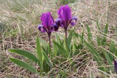 Apró nőszirom, Iris pumila, Tétényi-fennsík, Korda Márton